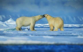 Picture snow, ice, pair, polar bears, Arctic