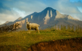 Picture the sky, grass, mountains, sheep