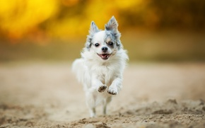 Picture mood, walk, Chihuahua, dog