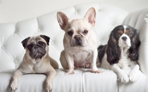Picture dogs, look, pug, trio, Spaniel, French bulldog, Trinity