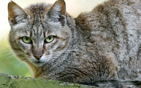 Picture cat, portrait, wild