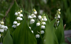 Picture leaves, white, lilies of the valley