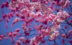 Picture branches, cherry, treatment, Sakura, flowering