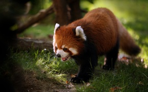 Picture grass, red Panda
