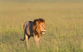 Picture grass, Leo, grass, lion, Kenya, Kenya, Masai Mara, Masai Mara