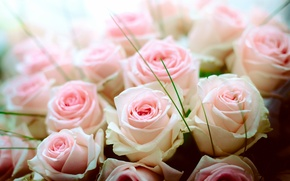 Picture tenderness, roses, bouquet, buds