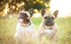 Picture dogs, grass, nature, French bulldogs