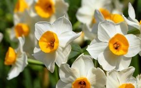 Picture macro, daffodils, bokeh