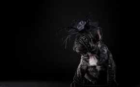 Picture puppy, French bulldog, bow, beads, dog