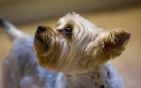 Picture muzzle, ear, Yorkshire Terrier