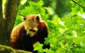 Picture forest, leaves, trees, nature, red Panda, red panda