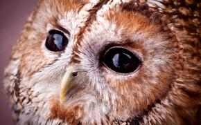 Picture look, owl, portrait, muzzle, sovushka, Strix aluco, Tawny owl, gray owl