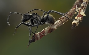 Picture background, black, legs, hairs, ant, antennae