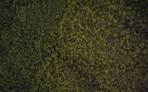 Picture summer, beauty, Forest, ate, tree, the view from the top, quadcopter