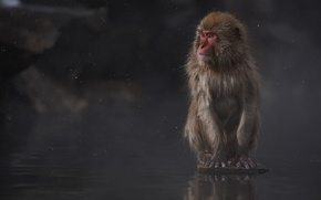 Picture interest, sitting, photographer, Japanese macaques, Macaca fuscata, Kenji Yamamura