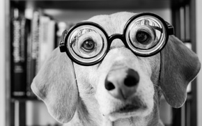 Picture look, face, dog, glasses, black and white