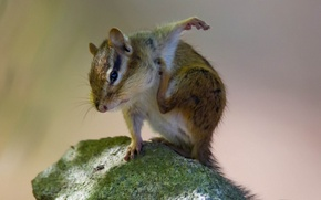 Picture stone, Chipmunk, rodent, pochemuchki