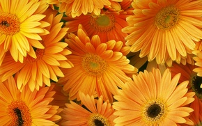 Wallpaper orange, bouquet, gerbera