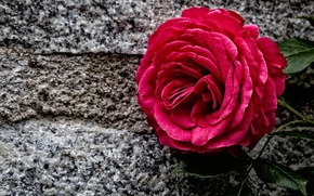 Picture stone, Bud, rose