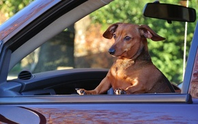 Picture machine, the situation, dog, Dachshund, passenger