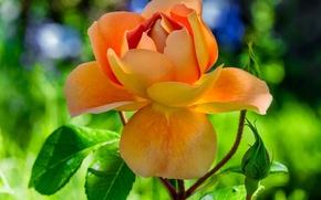 Picture leaves, rose, Orange