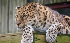 Picture face, stay, predator, paws, wild cat, the Amur leopard