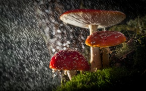 Picture macro, light, Amanita, nature, rain, bokeh, mushrooms, forest, drops