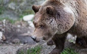 Picture face, bear, brown