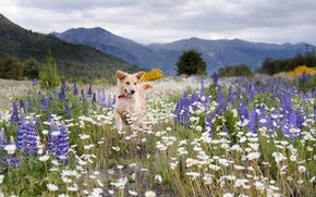 Picture field, summer, flowers, mountains, chamomile, dog, meadow, lupins, Wallpaper from lolita777