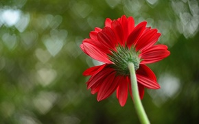 Picture flower, macro, red, background, petals, hearts, macro