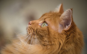 Picture cat, cat, look, muzzle, red, bokeh, red cat