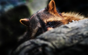 Picture eyes, muzzle, raccoon, ears, hid