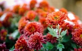 Picture autumn, flowers, nature, plants, chrysanthemum