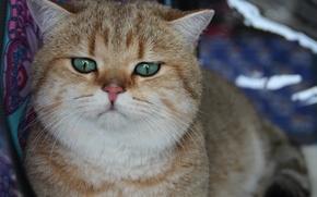 Picture cat, cats, cats, fistashkos, cat large, feline sight