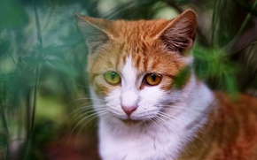 Picture cat, grass, eyes, cat, face, background, portrait, red, the expression, yellow eyes