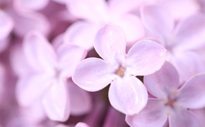 Picture flowers, spring, petals, lilac, purple