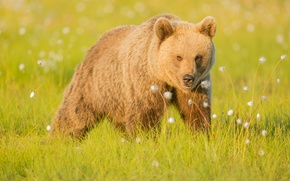 Wallpaper grass, nature, bear, brown