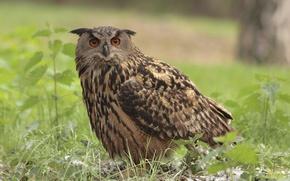 Picture grass, bird, owl