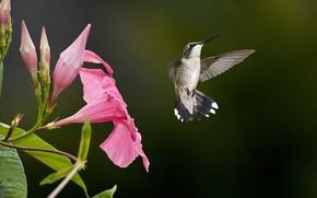 Picture flower, pink, bird, blur, Hummingbird