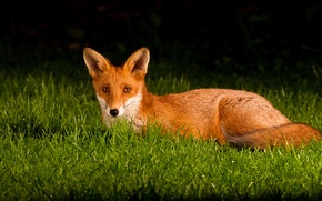 Wallpaper tail, ears, grass, Fox, eyes