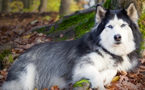 Picture each, dog, lies, husky