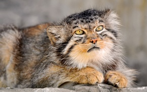 Wallpaper manul, wool, colors, fur, eyes