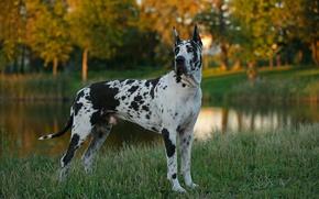 Picture grass, dog, dog, German, dog