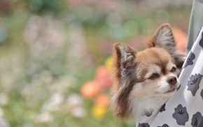 Wallpaper muzzle, cute, Chihuahua