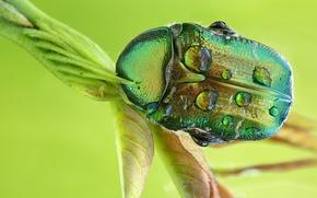 Picture drops, macro, green, beetle, stem, brantovka, Wallpaper from lolita777
