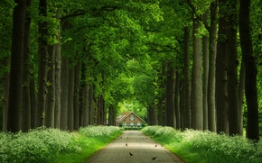 Picture road, trees, birds, trunks, house, alley