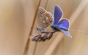 Picture butterfly, background, two, spike