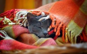 Wallpaper cat, cat, muzzle, plaid