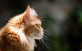 Picture cat, mustache, face, red, profile, Maine Coon