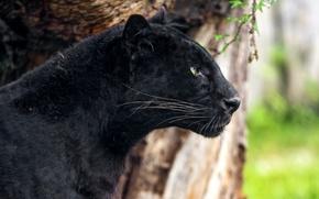 Picture black, predator, Panther, leopard, profile